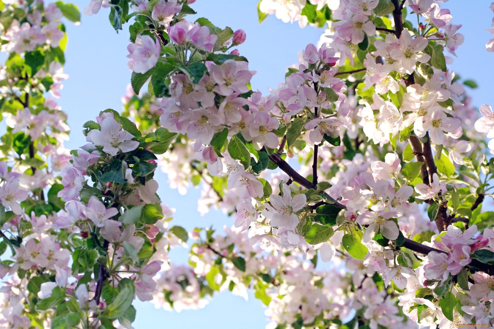Фото яблоня в цвету большого разрешения тоже следующей